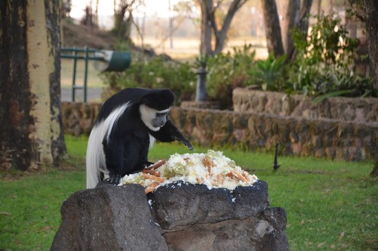 Lake Naivasha Sopa Resort: Monkey they leave food out for