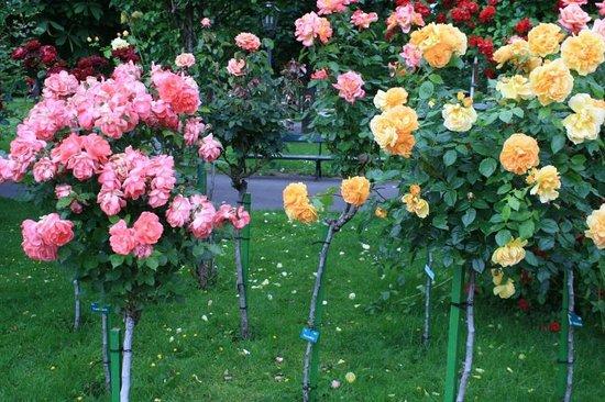 Volksgarten: More roses grown as standards