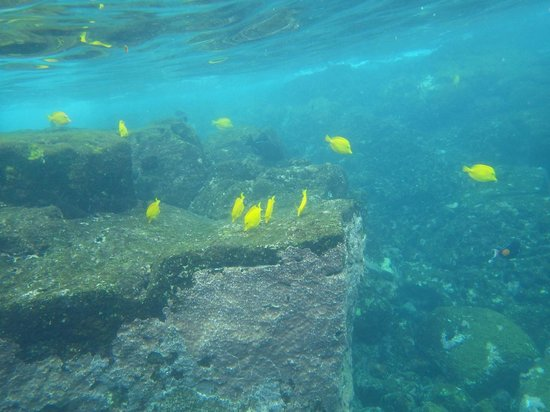Honaunau Bay: Yellow wrasse just off the lava steps