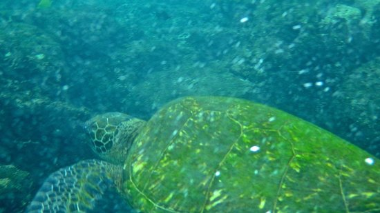 Honaunau Bay: Giant Sea Turtle off Two Steps