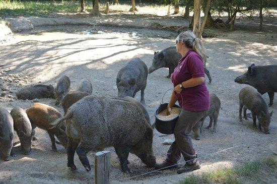 Safari Train - Réserve de Beaumarchais : les sangliers