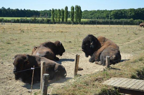 Safari Train - Réserve de Beaumarchais : les bisons