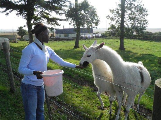 West Longridge Manor: Feeding the Llamas in the field next to the manor.