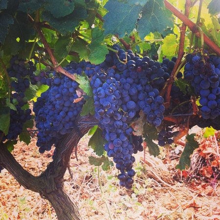La Vinyeta: ripe grapes