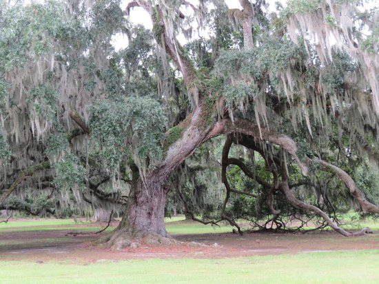 Fontainebleau State Park Huge Old Live Oak Tree With Spanish Moss