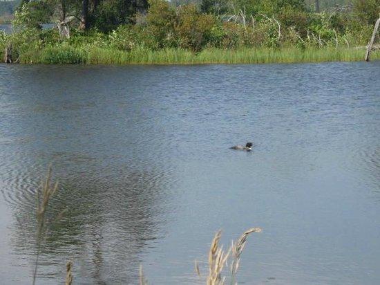 Seney National Wildlife Refuge: Lone loon