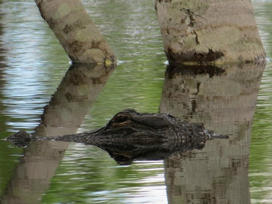 St. Andrews State Park: Another gator