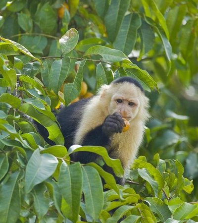 Gamboa Rainforest Resort: Monkey