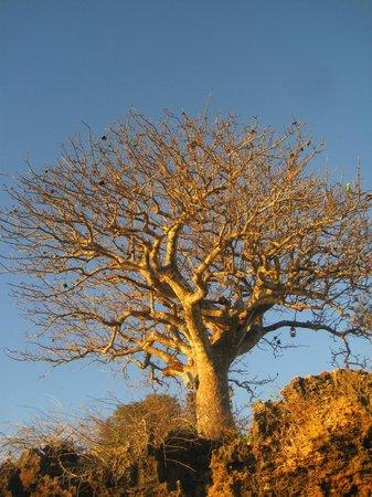 Azura Quilalea Private Island: Baobobs everywhere!!!