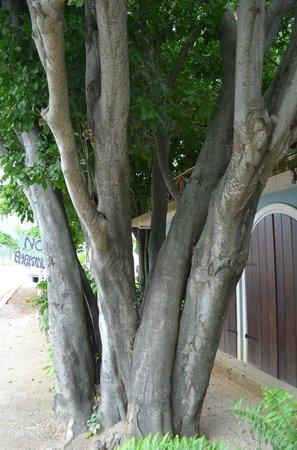 El Quenepo : The Quenepo Tree in front