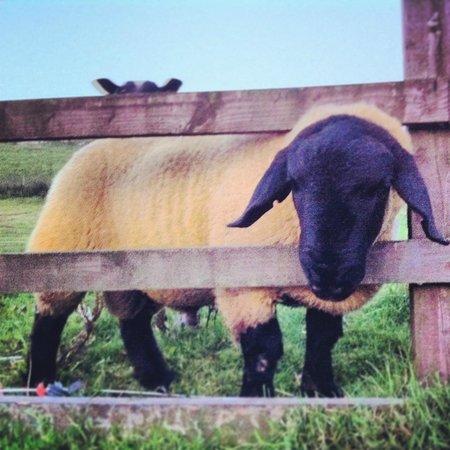 East Underhurth Farm: Friendly sheep!