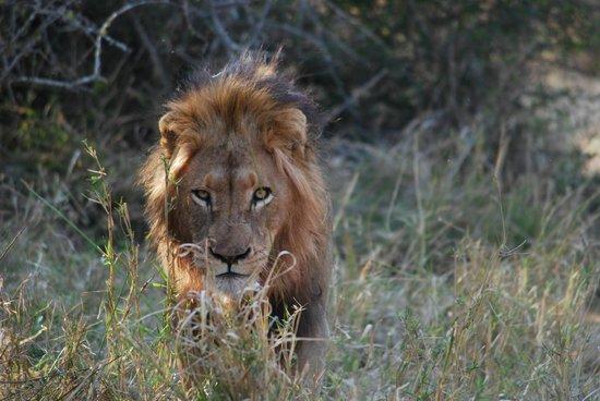Royal Malewane: Ein Traum wurde wahr - unsere Begegnung mit dem lion king.