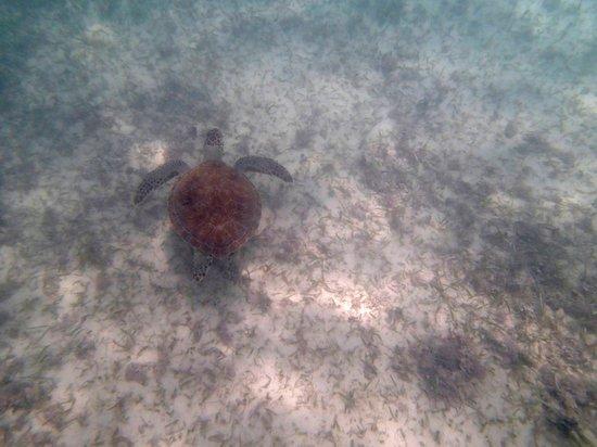 Hotel Akumal Caribe: muchas tortugas