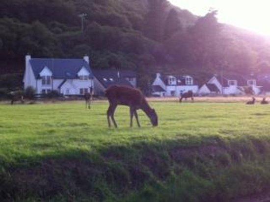 Lochranza Youth Hostel: red deer grazing nearby