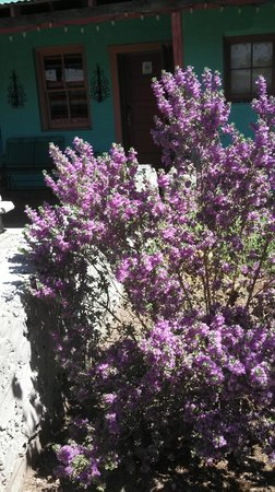Fire Water Lodge: Texas sage in bloom