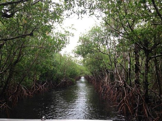 Everglades City Airboat Tours: A stretch of mangrove lining the waterway