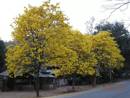 Krisdadoi Chiang Mai: Golden Trumpet  Blossom at Ban Pong