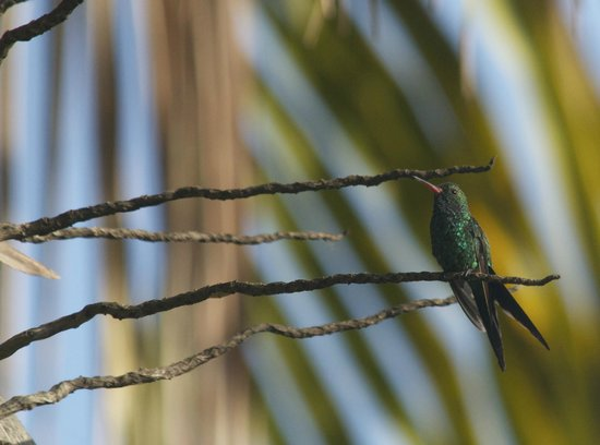 Duende - Day Tours: Cozumel Emerald, a hummingbird endemic to Cozumel.