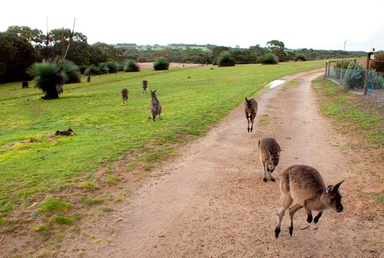 Eleanor River Homestead - Kangaroo Island: Here come the 'roos! (Feeding time at Eleanor River Homestead.)