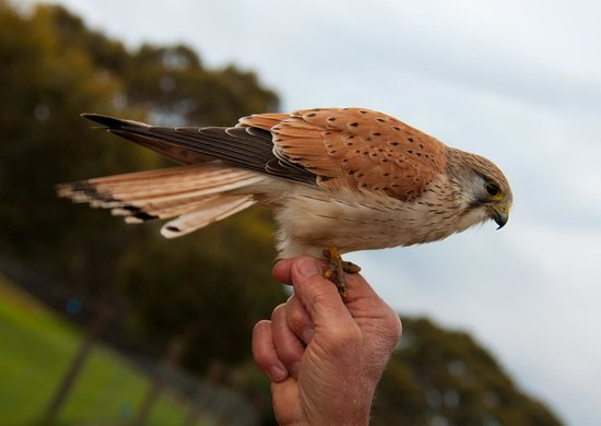 Eleanor River Homestead - Kangaroo Island: Genie the kestrel