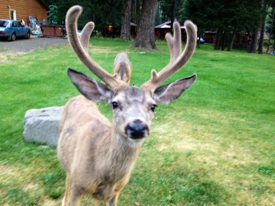 Wallowa Lake Resort: Very friendly and tame deer all over the place