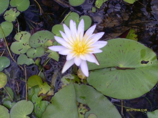 Mazambala Island Lodge : White purple lilly