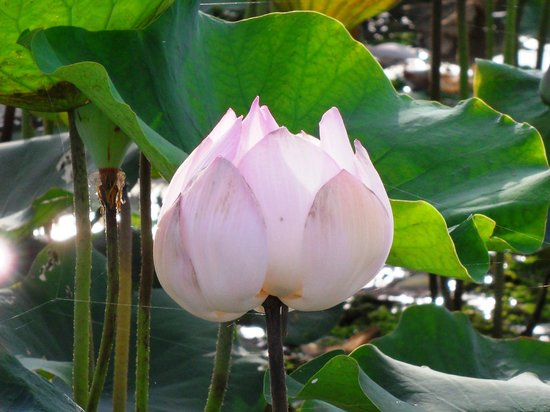 Angkor Tour Services: Lotus Flower