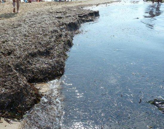 Playa Arenal-Bol : Montón de algas en playa Arenal Calpe 220813