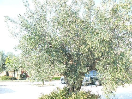 Agriturismo Il Borgo Degli Ulivi: uno dei numerosi ulivi