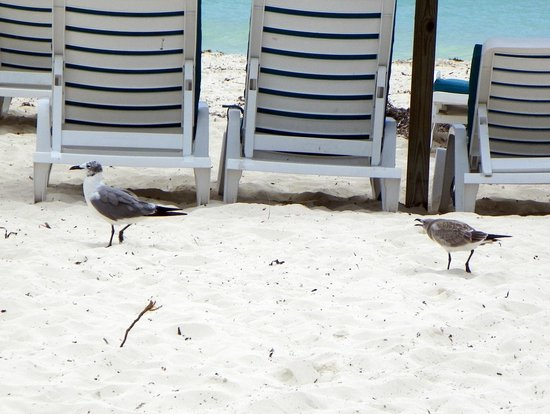 Viva Wyndham Fortuna Beach: Seagulls everywhere on the beach.Be careful.