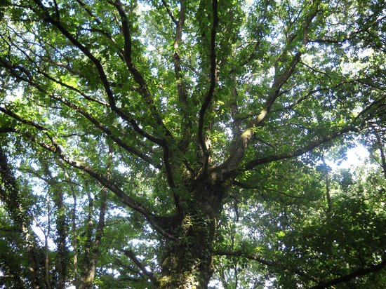 Brocéliande : Essenze arboree