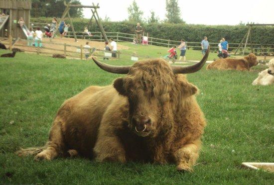 Cotswold Farm Park: Eric the Bull.