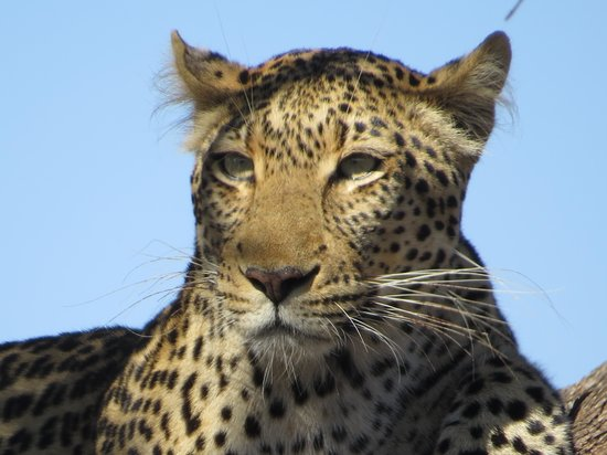 Mosetlha Bush Camp & Eco Lodge: How close do you want to get to a leopard in a tree?