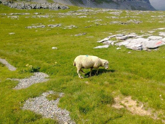 Berghotel Wildstrubel: Pecorella