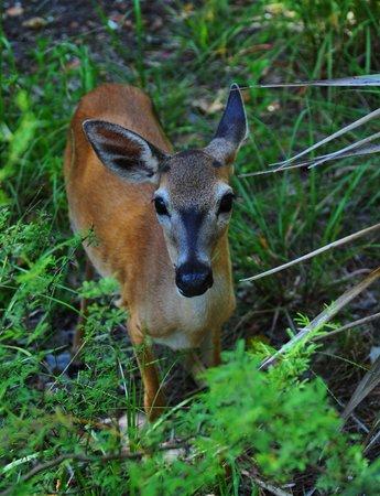 Key Deer near Blue Hole
