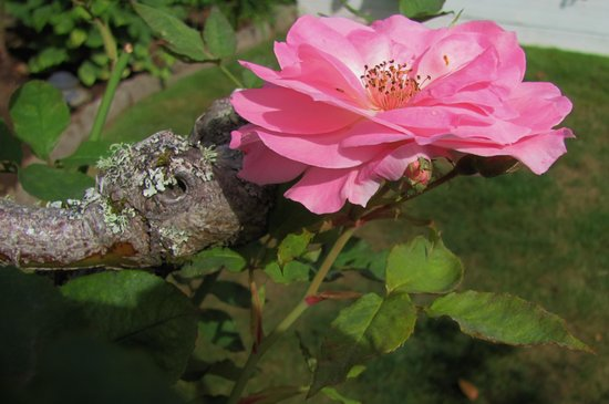 Rose River Inn: Rose in bloom