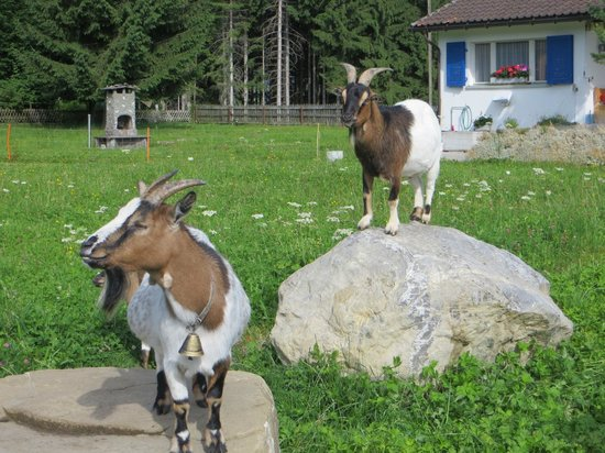 Landgasthof Eischen: Cute goats at house below the hotel