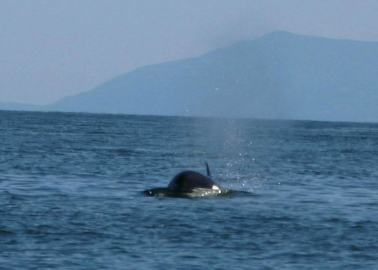 Western Prince Whale & Wildlife Tours : Here she comes!