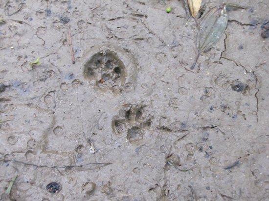 Guaraquecaba Environmental Protection Area: Feline footprints - wild cat