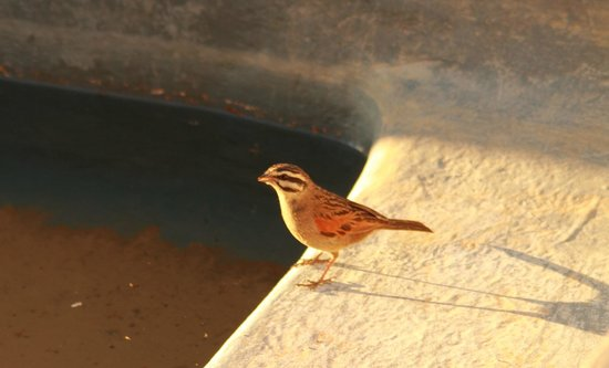 Tankwa Karoo National Park: Cape Bunting drinking from the plunge pool of our cottage