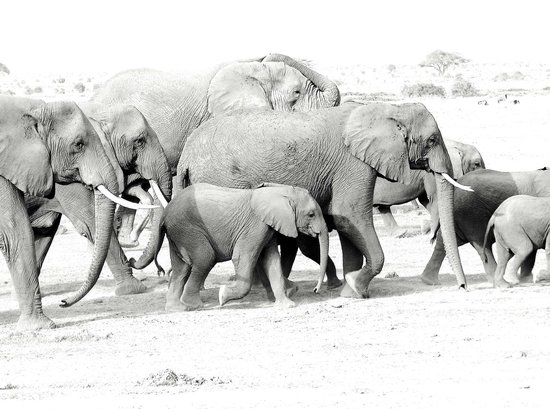 Mara Bush Camp: Elephants on march to marshes for water.