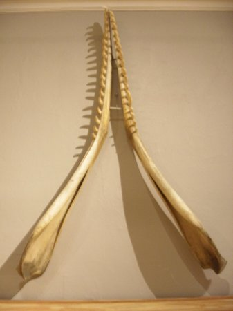 Berkshire Museum: Whale Jaw Bone
