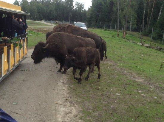 Smålandet Markaryds Älgsafari: Bisons