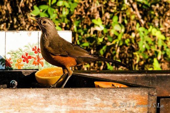 Hotel Coquille - Ubatuba: Saíra de laranjeira
