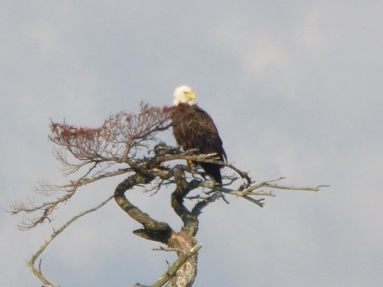 Northwoods Outfitters - Day Tours : bald eagle