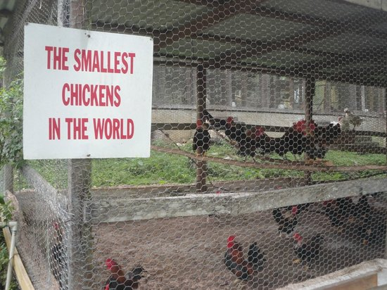 Animal Farm: the world smallest roostters.