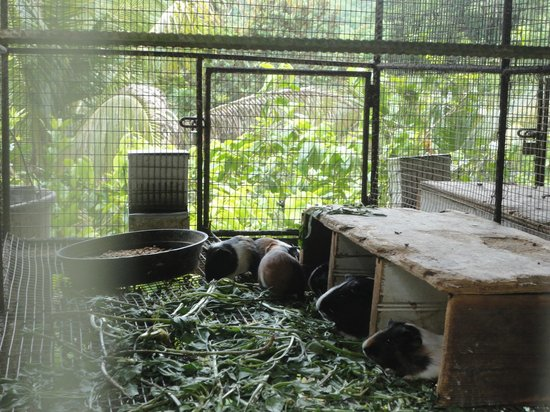 Animal Farm: guinea pigs