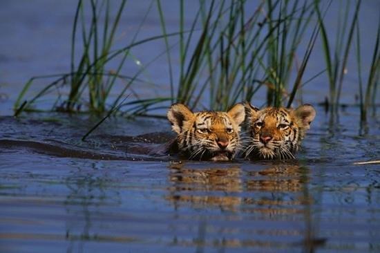 Pundits Fusion: Royal Bengal Tiger Cubs
