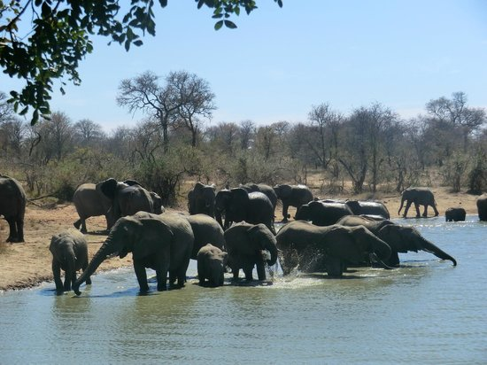 Gomo Gomo Game Lodge: Herd of elephants drinking right in front at Gomo Gomo waterhole