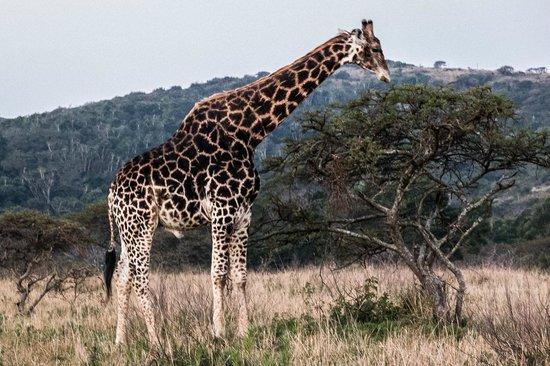 Inkwenkwezi Private Game Reserve Safari Lodge : Giraffe